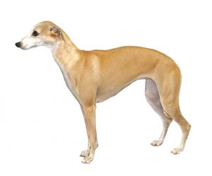 Race de chien - Whippet