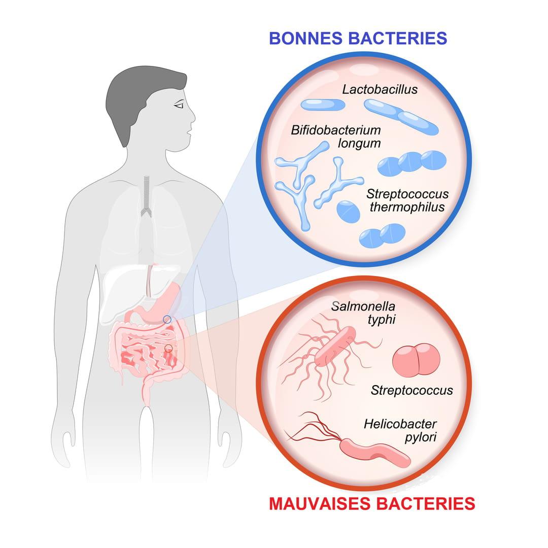 Les probiotiques font-ils maigrir ? - communaute-hrf.fr