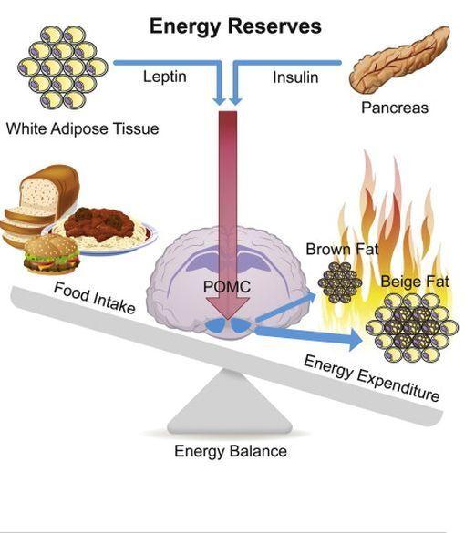 Obésité : Découvrez l'enzyme qui brûle les graisses stockées !