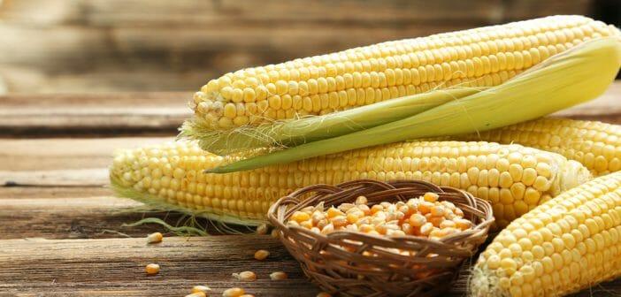 Barbe de maïs pour maigrir