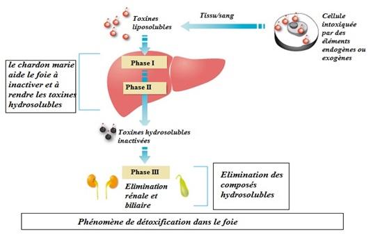 Détox : Comment optimaliser les fonctions éliminatrices de l'organisme - Van Vlodorp Nutrition