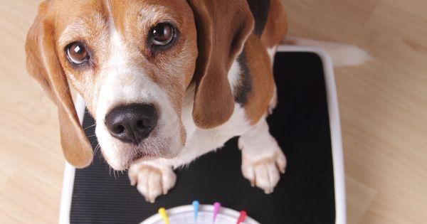 gros beagle perd du poids