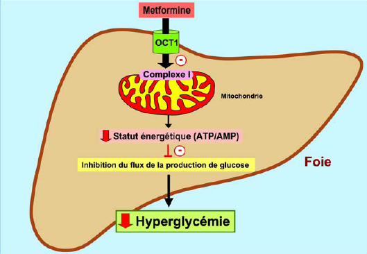 utiliser le glucophage pour perdre du poids